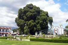 El Arbol del Tule - Tule Tree - Oaxaca